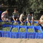 زيتون غزة: تراجع الإنتاج وضعف الإقبال