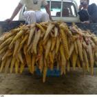 بالصور  سعوديون يبدأون موسم صيد