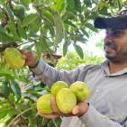 بدء موسم قطف فاكهة الجوافة في مدينة خانيونس