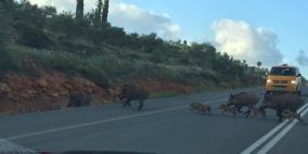 الخنازير خطر يدق أبواب القرى