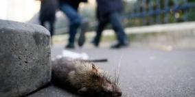 الفئران تنتشر في العاصمة باريس