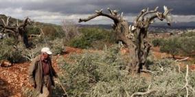 مستوطنون يقتلعون 100 شجرة زيتون جنوب نابلس