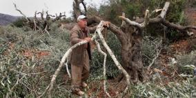 مستوطنون يقطعون أشجار زيتون معمرة ويستولون عليها