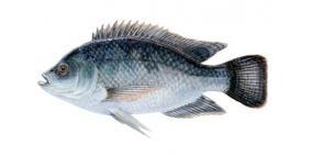 حراشف الأسماك لعلاج الجروح والحروق