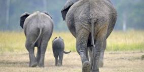 رعب في إسبانيا بعد هروب 5 فيلة