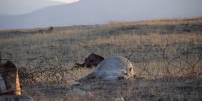 انفجار لغم في قطيع أبقار بالأغوار الشمالية