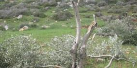 مستوطنون يقطعون مئات الأشجار المثمرة