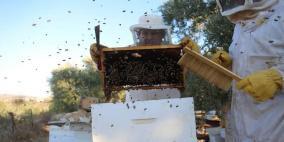 موسم قطف العسل في بلدة سنجل قرب رام الله