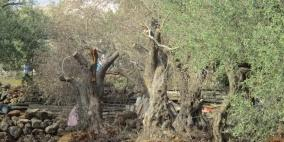 الاحتلال يقتلع مئات الأشجار في دير بلوط