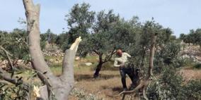 مستوطنون يقطعون مئات أشجار الزيتون المعمرة في بيت لحم