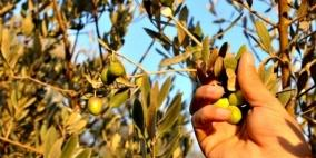 الزراعة تحدد موعد قطف الزيتون وتشغيل المعاصر