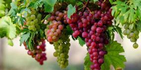 العلماء يكشفون فائدة غير متوقعة للعنب