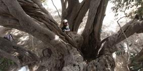 حارس أقدم شجرة في فلسطين