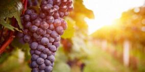 مركب طبيعي في العنب يحارب سرطان البنكرياس
