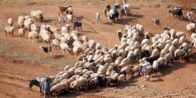 الاحتلال يحتجز الرعاة في الأغوار الشمالية