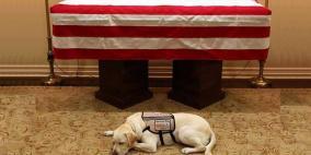 كلب بوش الأب لا يتخلى عنه حتى بعد موته