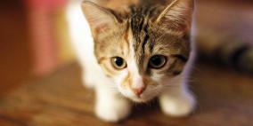 قريبا.. ولادة أول قطة مستنسخة في الصين