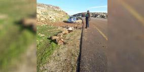 صور: مستوطن يدهس قطيع أغنام شرق رام الله