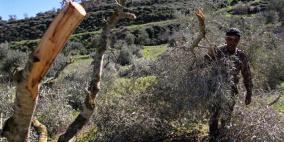 الاحتلال يقتلع 450 شجرة زيتون في الأغوار الشمالية