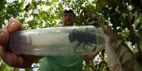 بعد انقراضها.. اعادة اكتشاف أضخم نحلة في العالم