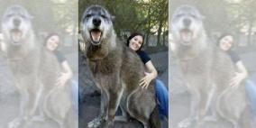 كلب عملاق يثير الذهول في الولايات المتحدة