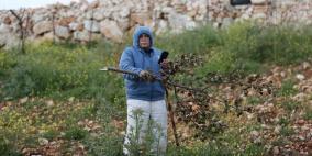 مستوطنون يقطعون 550 شجرة في أراضي دير جرير شرق رام الله