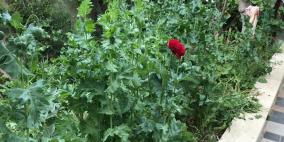بالصور.. ضبط 83 شتلة خشخاش بحديقة منزل في نابلس