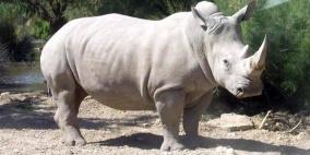 تجربة علمية ناجحة قد تنقذ وحيد القرن من الانقراض