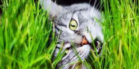 لماذا تأكل القطط العشب ثم تتقيأه؟