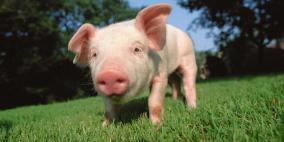 قريبا.. زراعة قلب خنزير في جسم إنسان