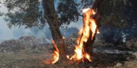 احتراق 40 شجرة زيتون في محافظة جنين