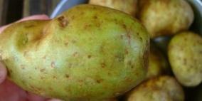 تحذير: لا تتناولوا البطاطا الخضراء
