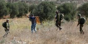 مستوطنون يسرقون ثمار 900 شجرة زيتون