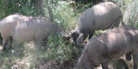 الخنزيرُ البري..سلاح إسرائيل الموجه نحو المزارعين