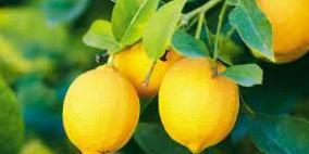 الليمون فاكهة بين الفوائد والمضار الصحية