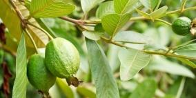 18 فائدة مذهلة لأوراق الجوافة