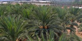 الاحتلال يقتلع 100 شجرة نخيل في الأغوار