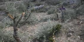 الاحتلال يقتلع أكثر من ألف شجرة وشتلة زيتون غرب سلفيت