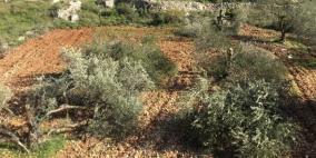 مستوطنون يقتلعون أكثر من 100 شتلة زيتون شرق يطا