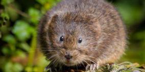 اكتشاف 3 أنواع من الفئران العملاقة.. هل كانت طعاما للإنسان؟