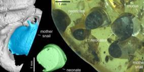 اكتشاف مذهل.. العثور على حلزون عمره 99 مليون سنة