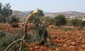 مستوطنون يقتلعون اشتال زيتون جنوب نابلس