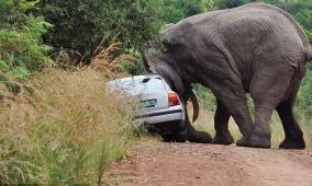 بالفيديو.. فيل هارب يقلب السيارات ويحدث فوضى عارمة