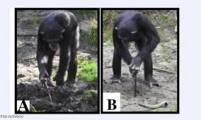الشمبانزي الباحث عن الطعام.. سلوك يفسر تصرفات الإنسان القديم