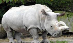 نفوق أقدم وحيد قرن أبيض