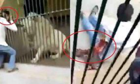 فيديو مروع لأسد ينهش ذراع حارسه!