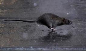 كورونا..جرذان شديدة العدوانية تأكل صغارها نتيجة نقص طعامها من القمامة