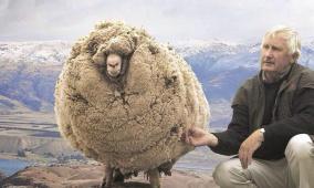 بالصور.. خروف يرتاح من 35 كيلوغراماً من الصوف في استراليا