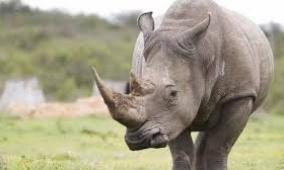 وحيد القرن الأبيض يتقلص الى 5 في العالم